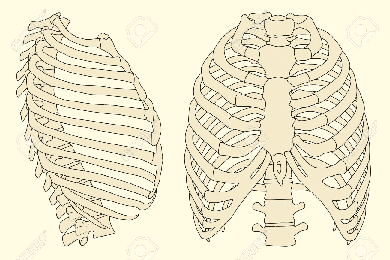 9909896-human-rib-cage-with-spine-Stock-Vector-skeleton