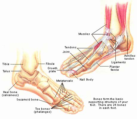 Parts of the Foot ~ Back to Health Wellness Centre