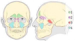 sinuses, cranial adjusting, cranial adjusting turner style, adjustments, treatment for sinuses,