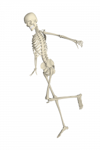 skeleton, bones, joints, muscles
